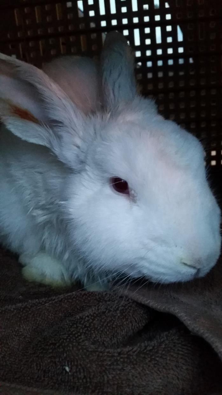 Adopt Skimmilk a Bunny Rabbit
