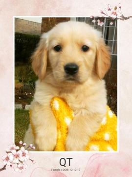 Golden Retriever PUPPY FOR SALE ADN-63218 - AKC Champion Bloodlines Golden