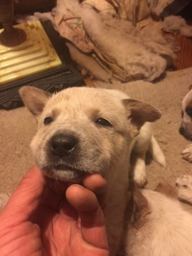 Australian Cattle Dog PUPPY FOR SALE ADN-60655 - Healthy Aussie Pups
