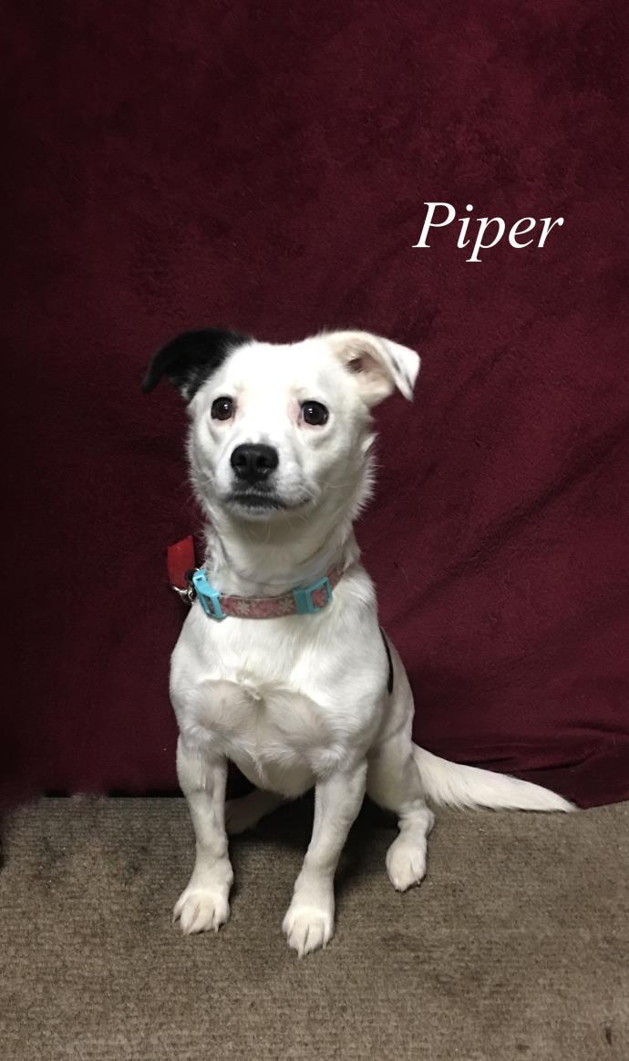 Adopt Piper a Terrier