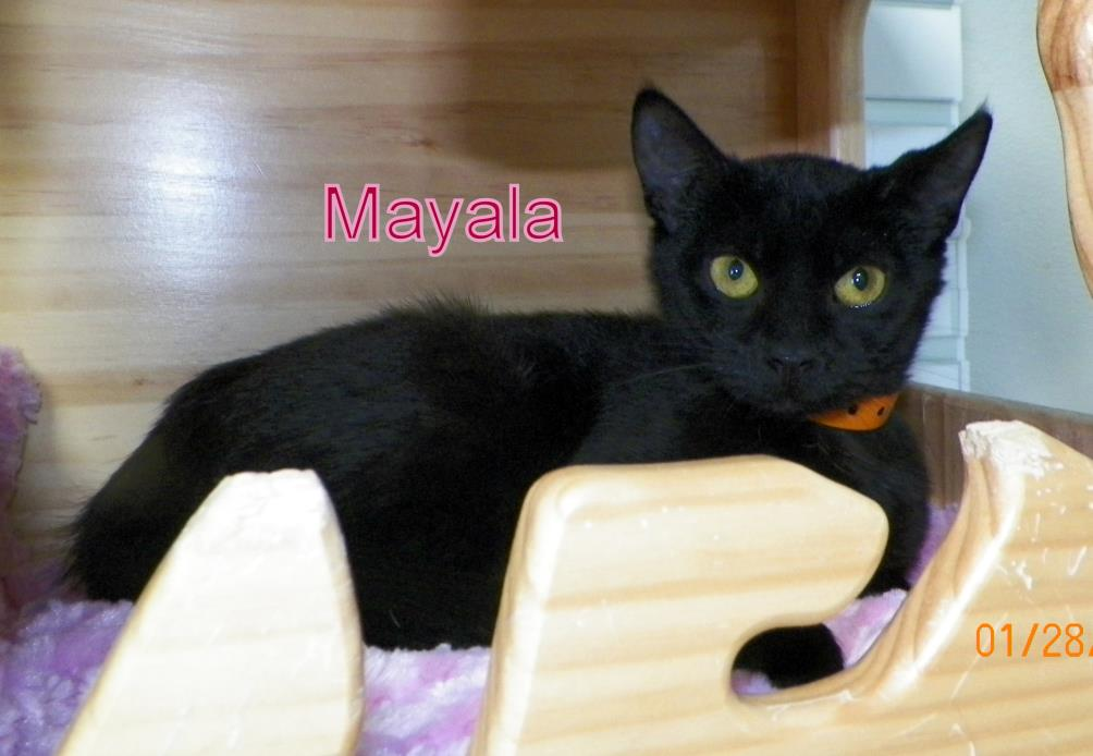 Adopt Mayala a Domestic Short Hair