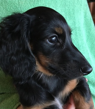 Dachshund PUPPY FOR SALE ADN-63213 - Lovable Long Hair Miniature Dachshund