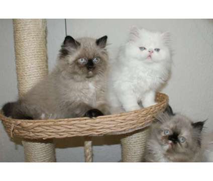 sale Persiancat and Himalayan
