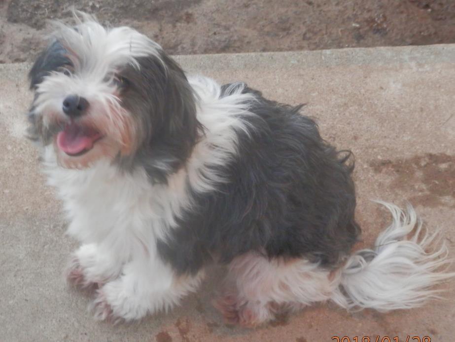 Adopt Layla a Shih Tzu, Poodle
