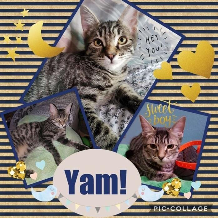 Adopt Yam a Tabby