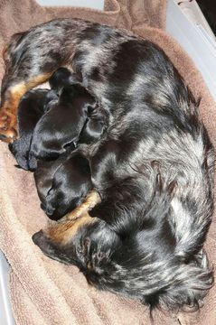 Dachshund PUPPY FOR SALE ADN-63210 - Lovable Long Hair Miniature Dachshund