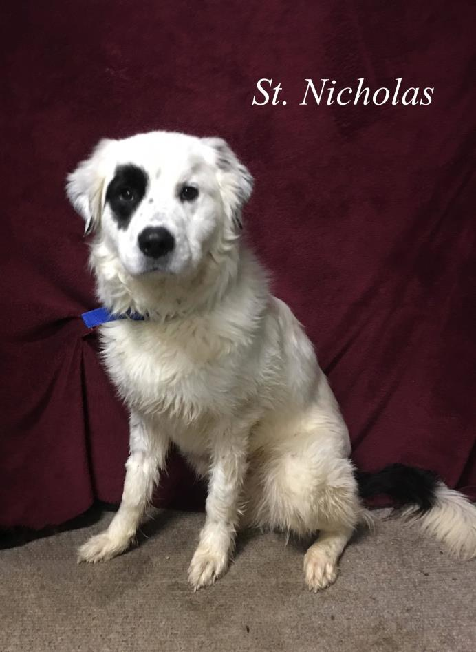 Adopt Nick a Great Pyrenees