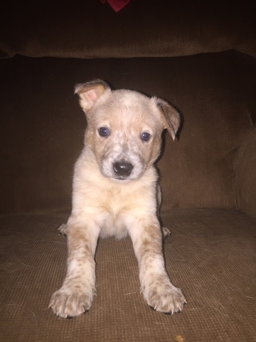 Australian Cattle Dog PUPPY FOR SALE ADN-60653 - Healthy Aussie Pups