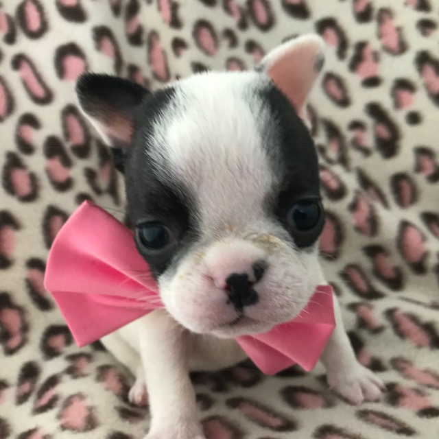 French Bulldog PUPPY FOR SALE ADN-61345 - AKC Bella