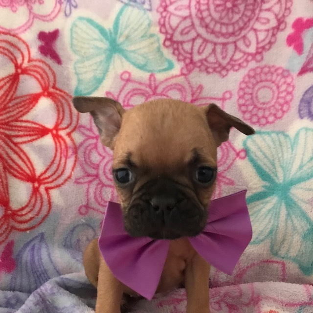 French Bulldog PUPPY FOR SALE ADN-61344 - AKC Stella