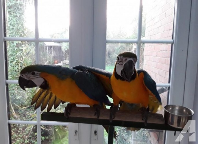 Macaws Blue & Gold parrots available