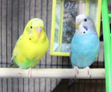 Adopt Benbrook~ Sandy and Pete a Parakeet (Other)