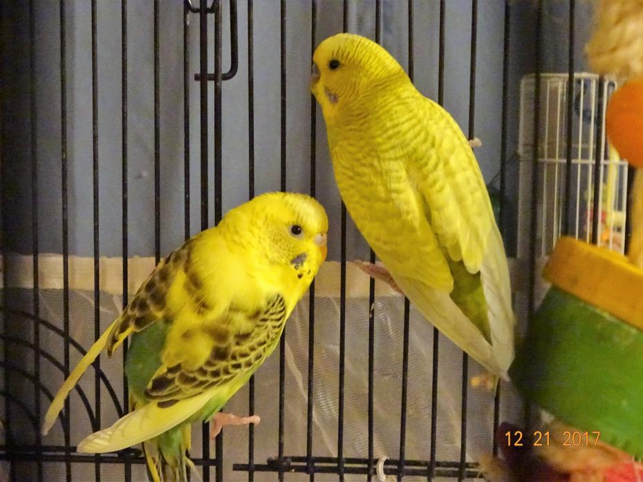 Adopt Holly Jolly Jingle and Frosty a Parakeet (Other)