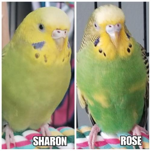Adopt Rose(More Black) and Sharon a Parakeet (Other)
