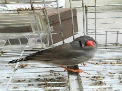 Adopt A1900861 a Finch