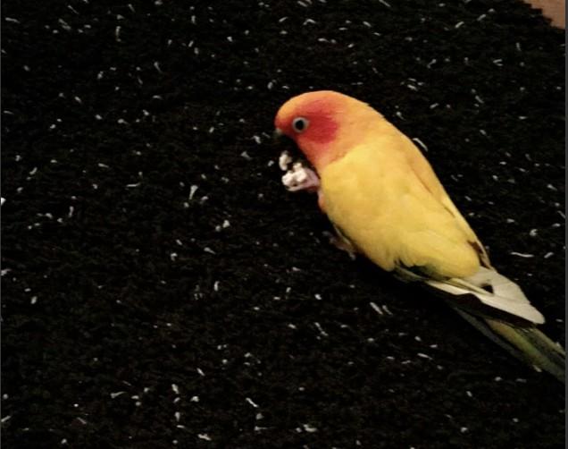 Adopt Paco a Conure bird in St. Louis, MO (20569872)