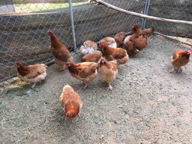 Adopt a Red Chicken / Mixed bird in Camarillo, CA (20573432)