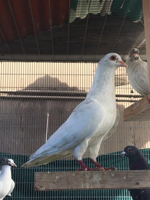 Adopt Helen a White Pigeon bird in Burlingame, CA (20710316)