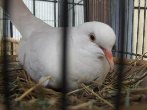 Adopt Pierre w/Lucia a White Dove bird in San Francisco, CA (20707202)
