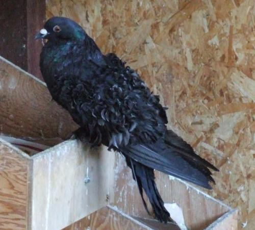Adopt Carrie a Black Pigeon bird in San Francisco, CA (20707206)