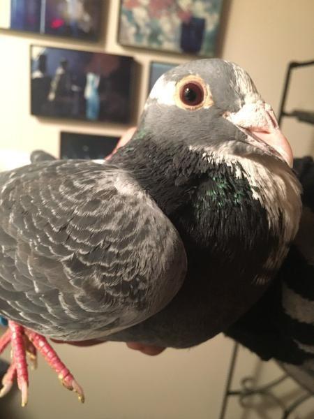 Adopt Bella a Pigeon bird in San Francisco, CA (20717396)