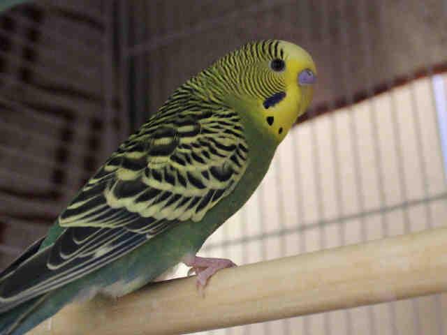 Adopt MAUI a Green Parakeet - Other / Mixed bird in Fort Wayne, IN (20719893)