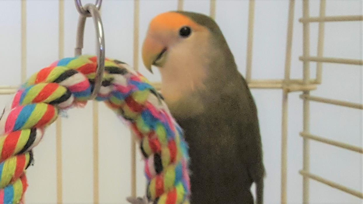 Adopt Burt a Green Lovebird bird in Grandview, MO (20708801)