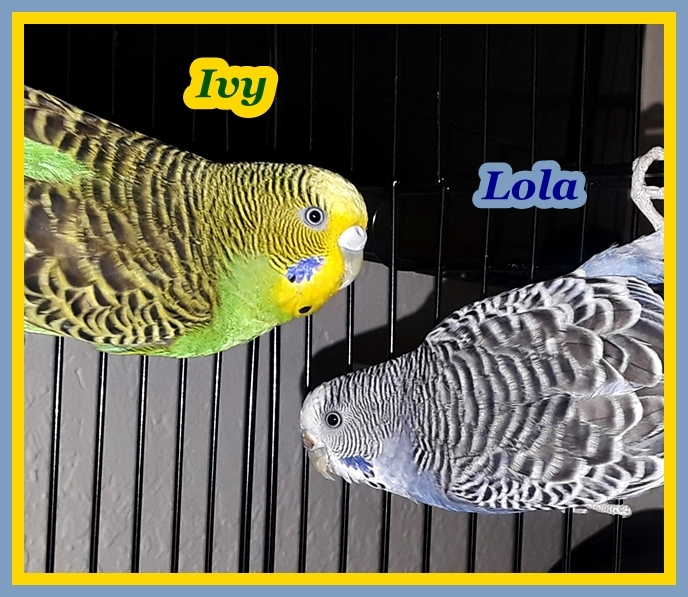 Adopt Ivy and Lola a Parakeet (Other)