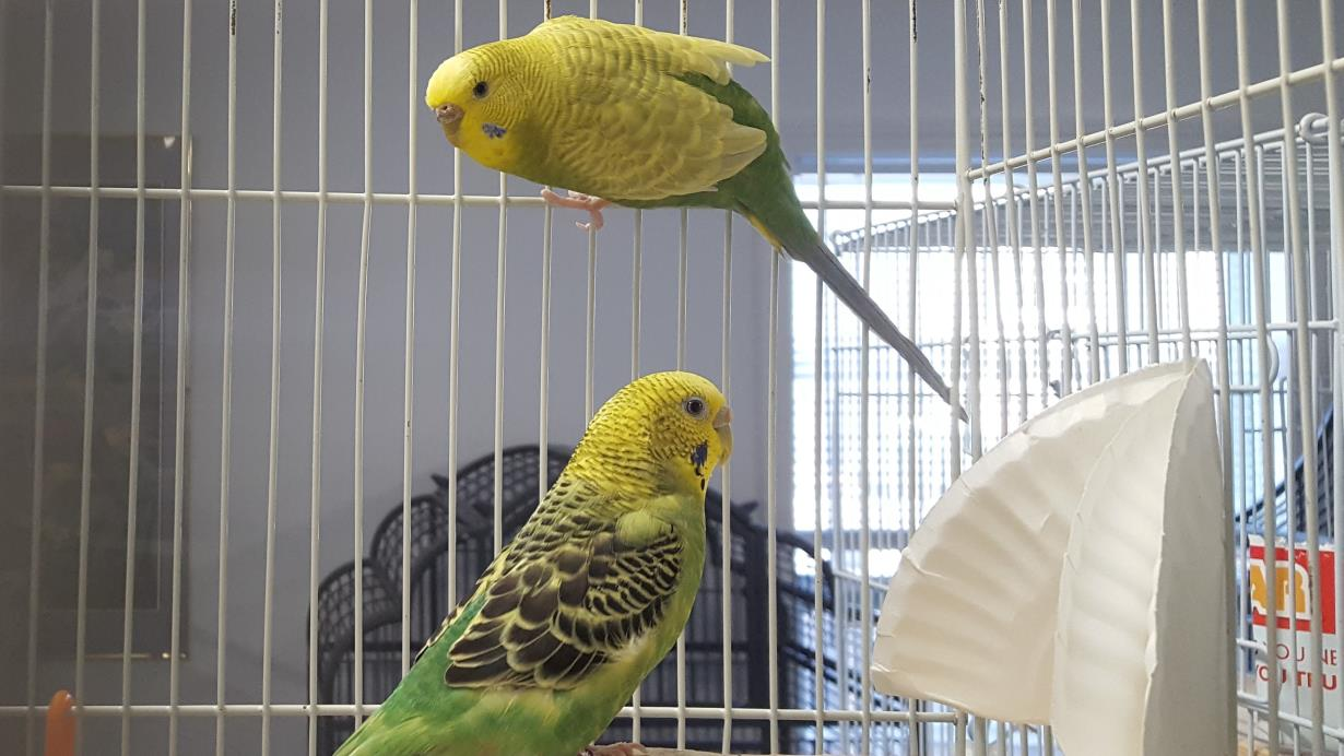 Adopt Wendy and Holly a Green Budgie bird in Grandview, MO (20709328)