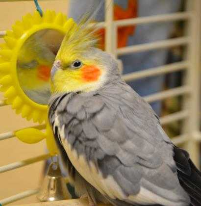Adopt Rudy a Gray Cockatiel / Mixed bird in Waterford, CT (20553396)