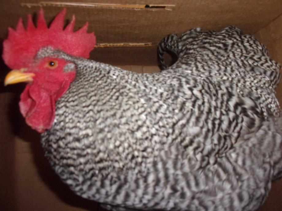 Adopt Drago a Chicken bird in Raleigh, NC (20547780)