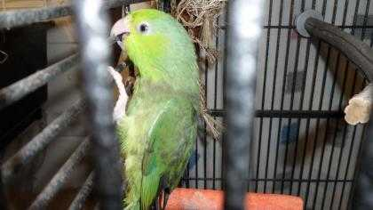 Adopt Elle a Green Parrot - Other / Mixed bird in Cocoa, FL (20718683)
