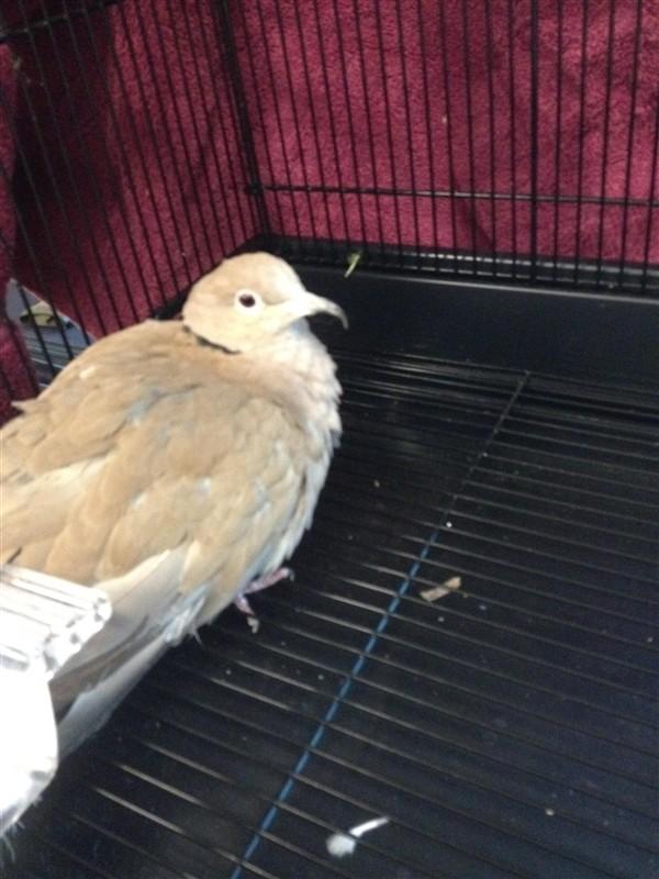 Adopt a Dove bird in Norman, OK (20501114)