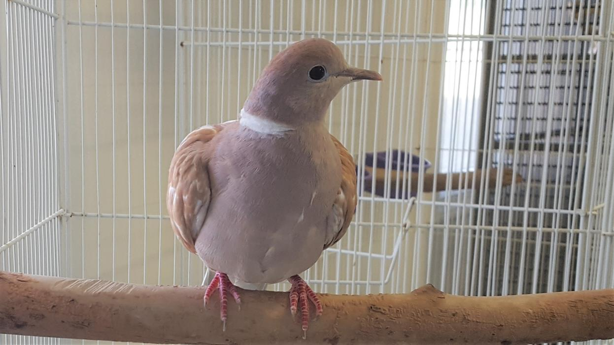 Adopt Jean Paul and Meg a Dove