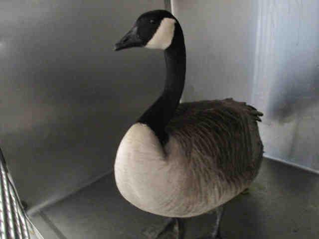 Adopt Bird a Goose