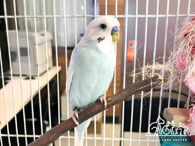 Adopt BENTLEY a Parakeet (Other)
