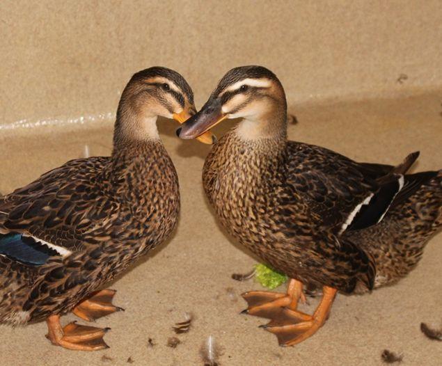 Adopt Hermione & Rhonduck a Duck