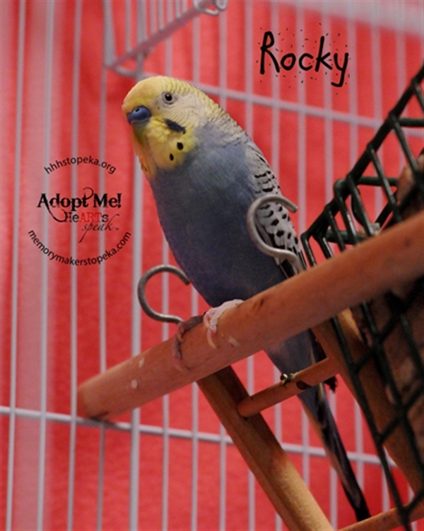 Adopt Rocky a Parakeet (Other)