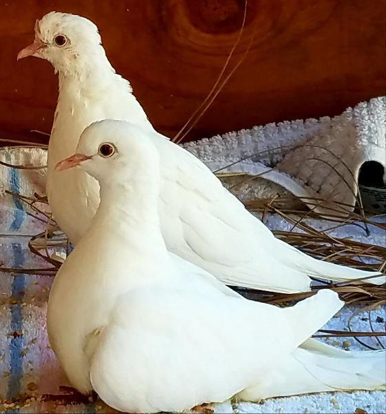Adopt Memphis w/Rory a Dove