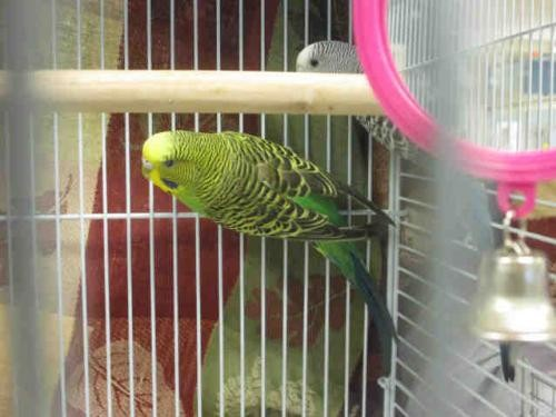 Adopt EMMET a Parakeet - Other bird in Maryland Heights, MO (20539639)