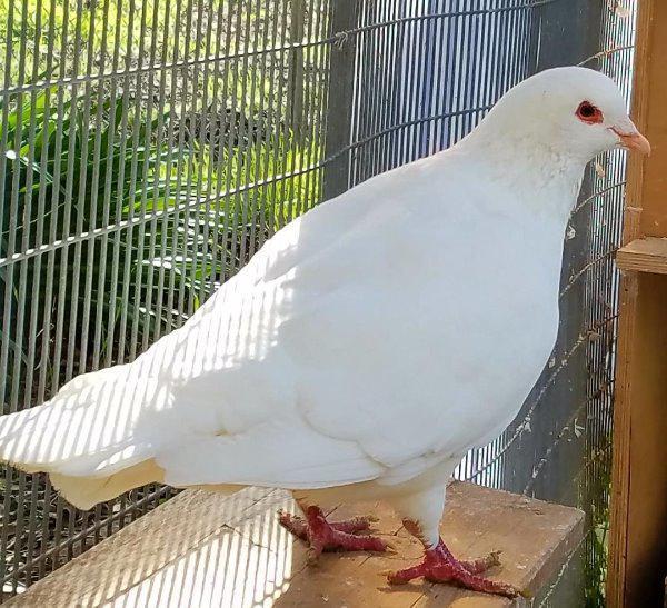 Adopt Sebastian (with Priscilla) a Pigeon