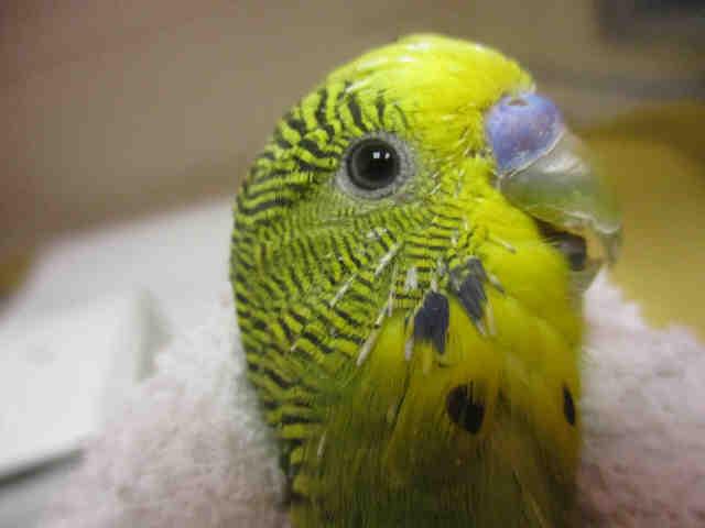 Adopt JOLLY a Parakeet (Other)