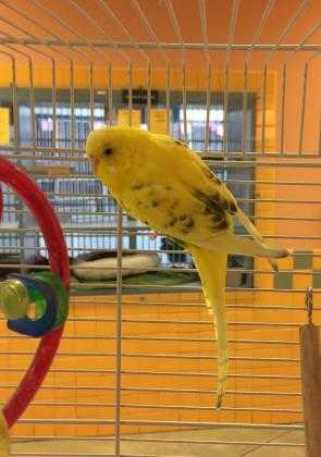 Adopt Limone a Yellow Budgie / Budgie / Mixed bird in Lewiston, ME (20702401)