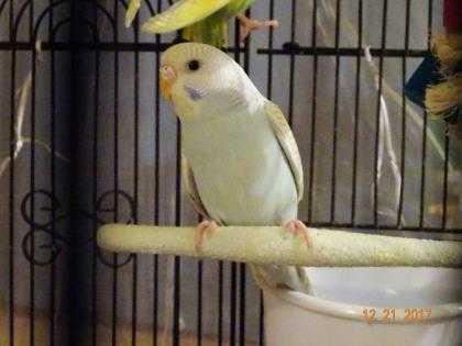 Adopt Frosty a Blue Parakeet - Other / Mixed bird in Edmond, OK (20513744)