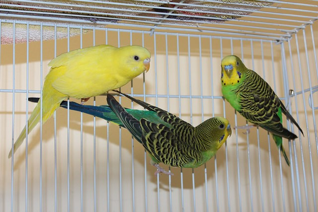 Adopt Melon,Mango and Kiwi a Yellow Parakeet - Other bird in Medfield