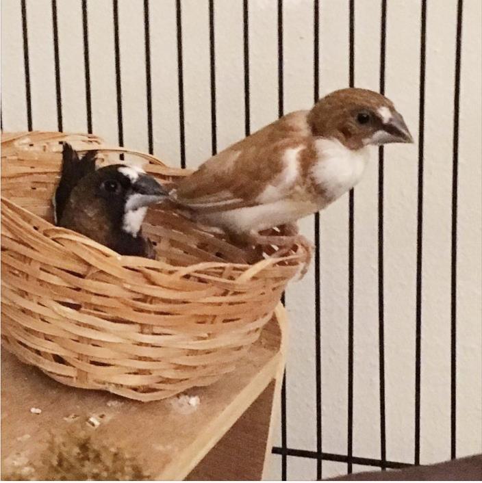 Adopt Coco & Caramel a Finch