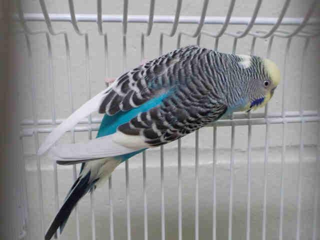 Adopt BILL a Parakeet (Other)