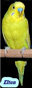 Adopt Elton a Parakeet (Other)
