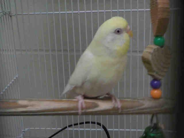Adopt HILLARY a Parakeet (Other)
