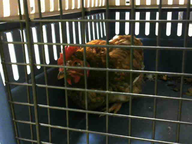 Adopt a Red Chicken / Mixed bird in Statesville, NC (20718089)
